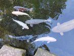 Если рыба поднимется против течения и преодолеет водопад, она превратится в дракона.