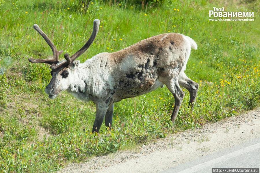 по дороге на рудник на дорогу вышел олень!