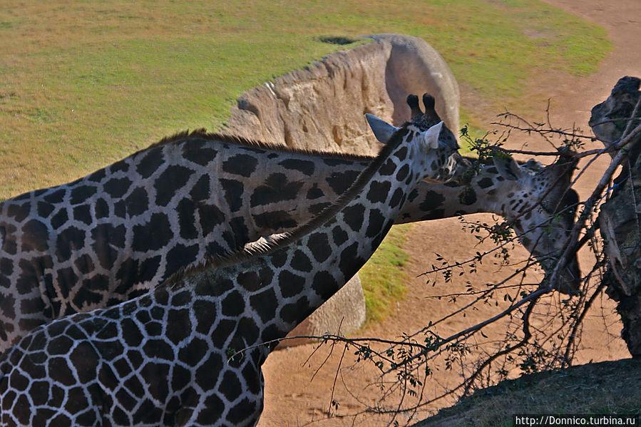 семейная пара жирафов тоже порадовала
