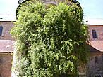 Тысячелетний куст розы во дворе собора Св. Марии