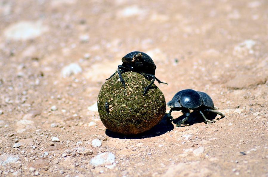 Кого здесь особенно много — это жуков навозников. Как они умильно катают по дороге шары из навоза :)