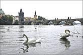 Лебеди на реке — картина заслуживающая внимания. Поэтому на этом пятачке у Влтавы всегда полно отдыхающих. Погодка вот только подкачала — небо корова языком слизала... *