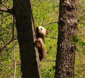 Бурый медвежонок. Автор фото: Латыпов А.