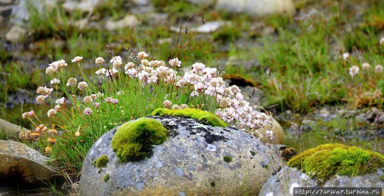 Исландские полевые цветы