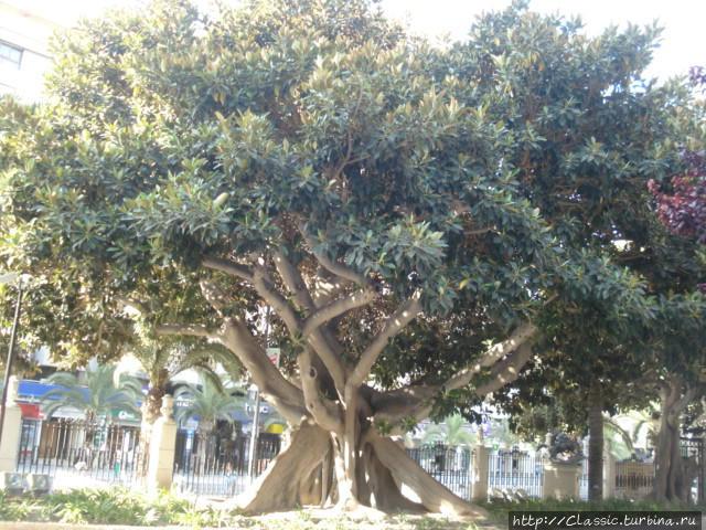 Оливковое дерево.  Ему около 2000 лет.
