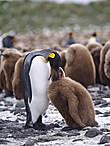 пингвин с охоты возвратившись  сел у буржуйки и заснул  седая мать с него тихонько  стащила влажные носки