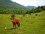 гончие коровы