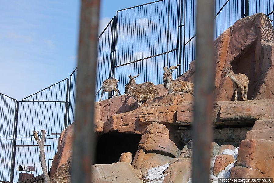 Винторогий козел(Capra falconeri)  Распространён в Западных Гималаях, Кашмире, Малом Тибете и Афганистане, а также в горах Таджикистана. Населяет крутые склоны ущелий, скалы и обрывы на высоте от 500 до 3500 метров Является родоначальником некоторых пород домашних коз. Как редкий вид мархур занесен в Красную книгу. Охота на винторогого козла полностью запрещена.