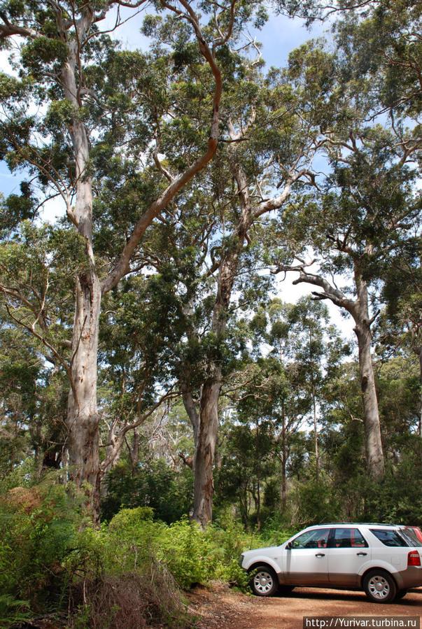 Большую часть лесов Австралии составляют эвкалипты Маргарет-Ривер, Австралия