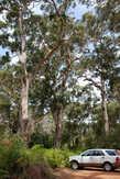 Большую часть лесов Австралии составляют эвкалипты