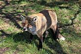 Лисичку встретили на обратной дороге, у самого подножия, они голодные, поэтому к людям подходят близко, т.к. надеются,что их покормят.