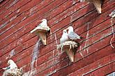 Хорошо живется чайкам в Варде.