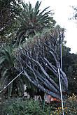 Трепетное отношение к священному Дереву Драко.