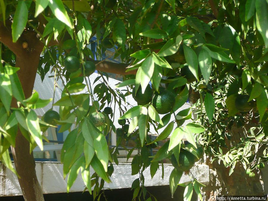 мандарины, а так инжир и много оливковых деревьев