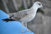 Португальская чайка (г. Эрисейра)