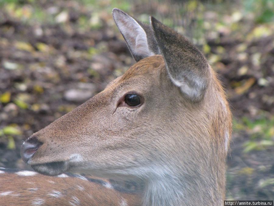 Очаровательные и очень ласковые звери — пятнистые олени.