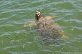 А вот и долгожданная черепаха. На самом деле, название этих черепах — Логгерхед или головастая морская черепаха. Несмотря на то, что их мясо не очень вкусное, а панцирь не является пригодным материалом для ремесленных поделок, этот вид считается исчезающим и занесен в Красную Книгу.  Все дело в яйцах! В черепашьих яйцах, которые считаются деликатесом и когда-то добывались в большом количестве, тем самым нанося урон черепашьей популяции.  Сейчас добыча яиц запрещена, и черепахами можно только любоваться.