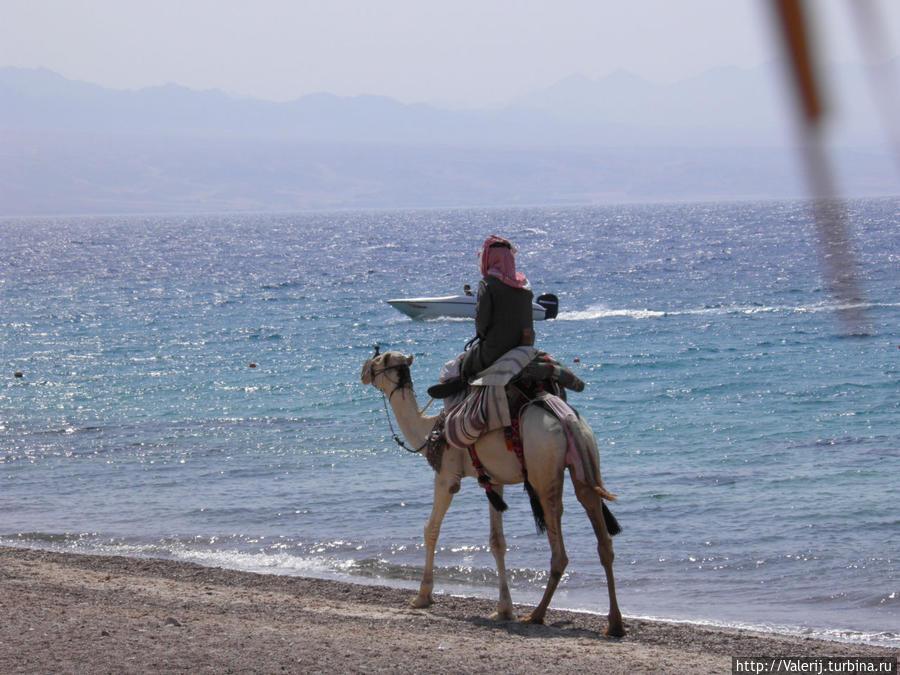 Что за Египет без верблюда