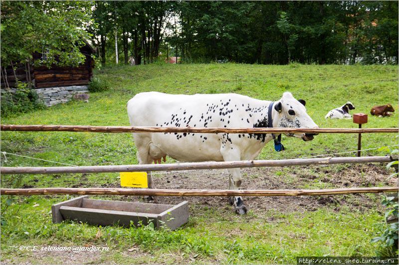 15. А вот и домашние животные! Комолая корова меланхолично жуёт свою жвачку, способствуя своим видом созданию аутентичной деревенской обстановки.