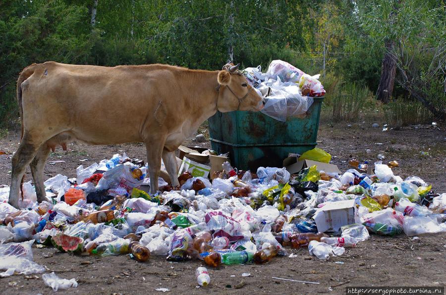 Коровы любят гулять по свалкам. Вообще, с уборкой мусора в Казахстане, и особенно в Балхаше, проблемы Балхаш, Казахстан