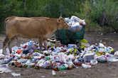 Коровы любят гулять по свалкам. Вообще, с уборкой мусора в Казахстане, и особенно в Балхаше, проблемы