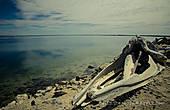 Череп серого кита