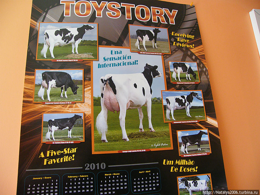 На плакате корова с расчесанным хвостом, готовая к выставке :-)