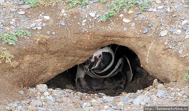 Пингвинье гнездо с мамой