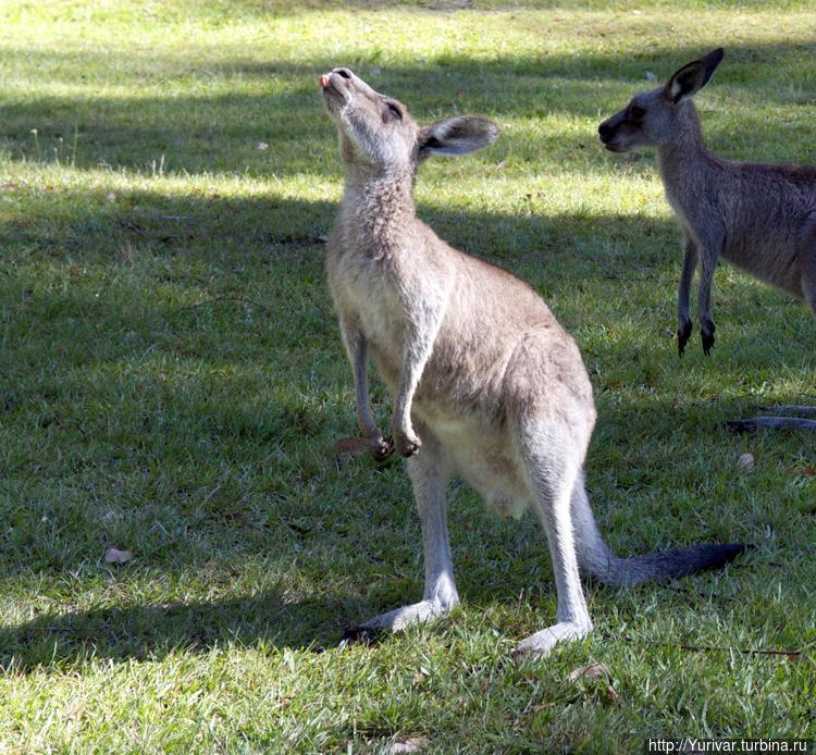 Кенгуру в Австралии встре