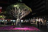 Священное дерево Канарских островов — Дерево Драко.