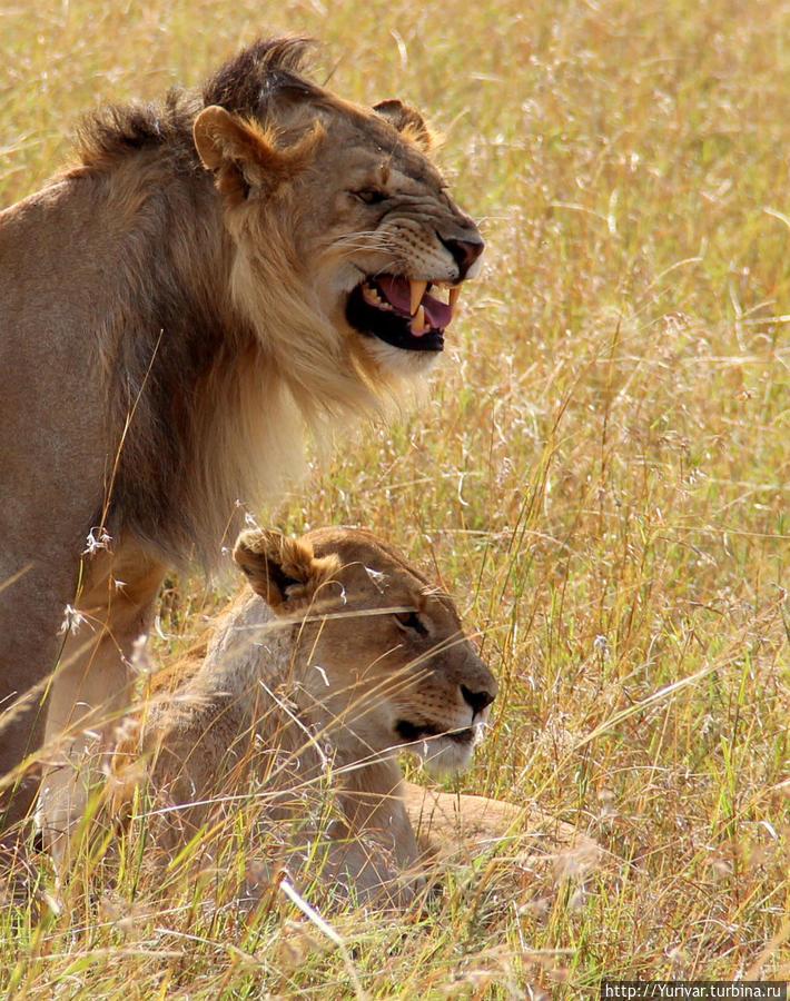 Семейная пара львов в НП Масай Мара