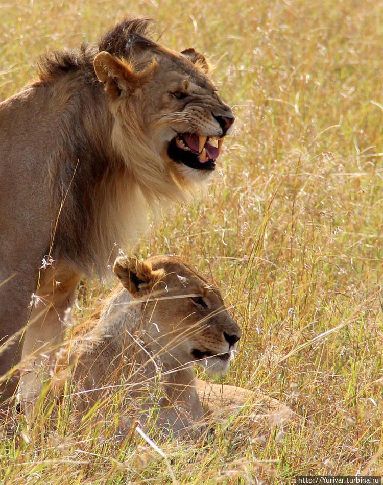 Семейная пара львов в НП