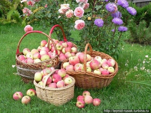 Цените вкус спелых яблок.