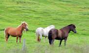 Исландские лошади свободно пасутся у дороги