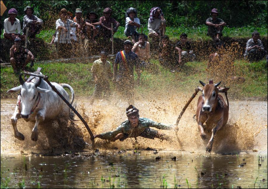 Фестиваль Pacu Jawi (гонки на быках) на Суматре Паданг, Индонезия