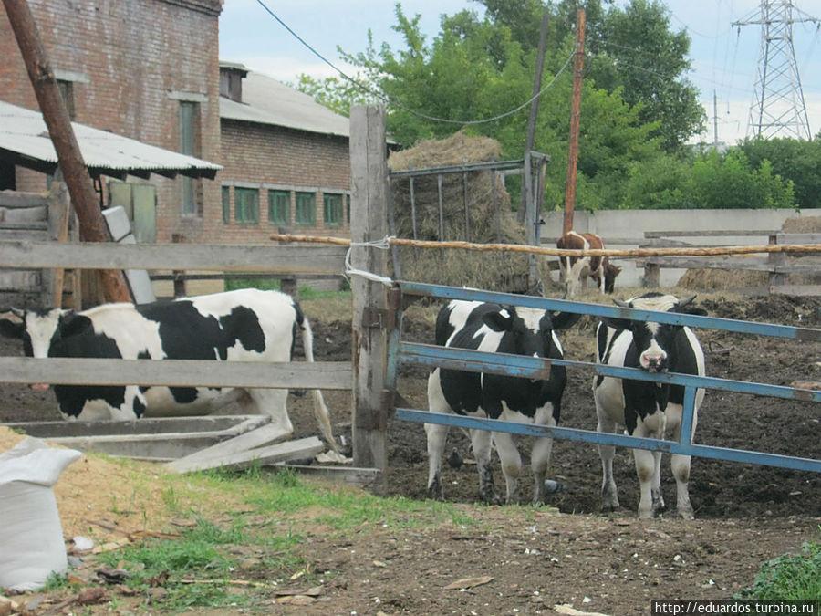 И коровки тут же пасутся)))