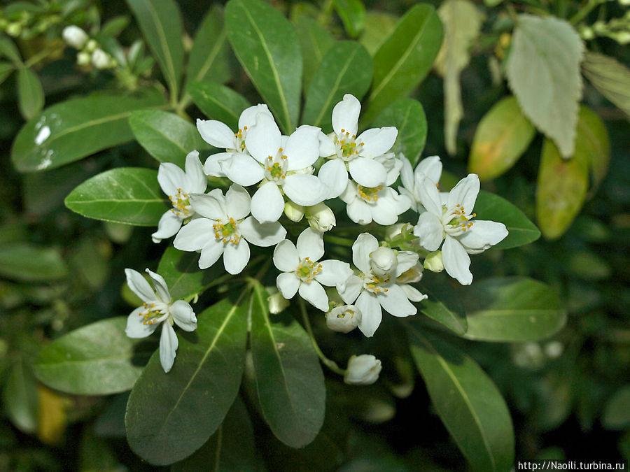 Еще цветут  и пахнут на закате эти мелкие белые цветочки