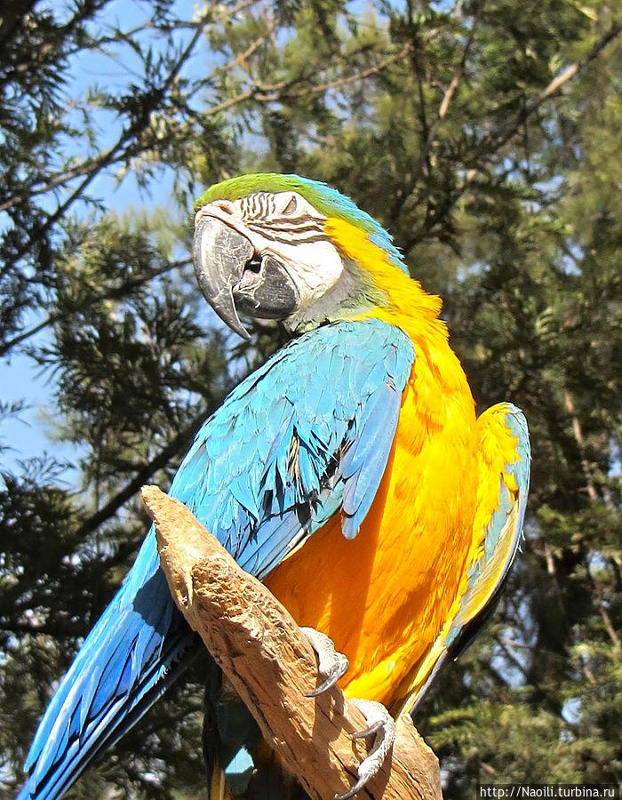 Попугай Ара классической раскраски