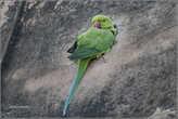 Удивительно, что на территории форта и вокруг него много вот таких зеленых попугаев с красными клювами. Они — довольно большие по размеру, и живут во всех отверстиях крепостных стен...