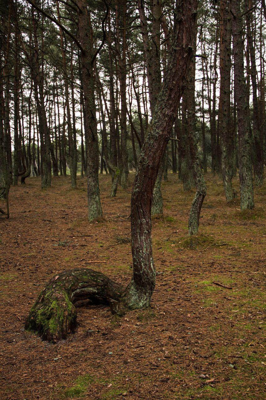 Танцующий лес. Куршская коса Куршская Коса Национальный Парк, Россия