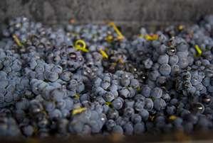 Для виноделия ценится именно такой виноград — мелкие ягоды, которые обладают более насыщенным вкусом и ароматом