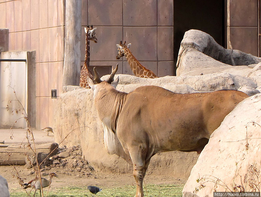 Жирафы и антилопы не мешают друг-другу и могут жить вместе
