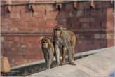 У этих — свои проблемы. Хулиганы они, в общем... На нас много раз незаметно нападали обезьяны, когда мы сидели в кафешках. Стоит только зазеваться — тарелка будет пуста...