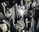 Кстати, именно на Филиппинских островах обитает самый миниатюрный представитель летучих мышей —  бамбуковая летучая мышь весом до 4 грамм и размахом крыльев – до 15 см. Самальские фруктовые мыши будут повесомей. Вон какие упитанные...