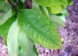 Лист коки или Ко́ка (лат. Erythróxylum cóca) — вид кустарниковых растений. Родина — северо-запад Южной Америки