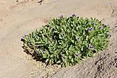 А это цветущее чудо на камнях мы встретили на самом ФИНИШЕ ,у подножия самой высокой горы Синайского полуострова, Джебель Катарины (2642 м), напротив  Монастыря Святой Екатерины.