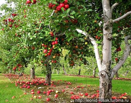 Старый яблоневый сад. Между деревьев обязательные 3-6 метров.