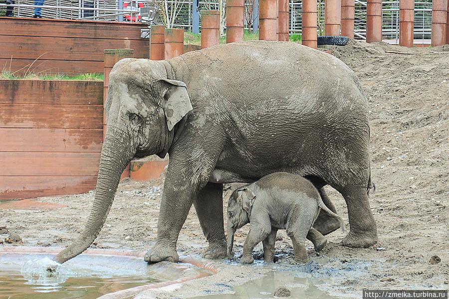 А вот и слоны! Трюк в том, что парк одним боком прилегает к зоопарку — вольером со слонами. То есть слонов от парка отделяет невысокий заборчик и небольшой канальчик с водой — они совсем рядом!
