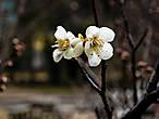 Хотя у каждого цветущего растения в Японии есть свой определённый период цветения, в реальности дервья и цветы зацветают как попало. Зависит от сорта, от местности, от того, как падает солнышко. Можно увидеть цветущую сливу в декабре и сакуру в феврале. Данная конкретная слива зацветает, в общем, как положено.