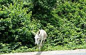 Тоже что ищет. Самые крупные дикие млекопитающие о-ва Ст. Джон ослы. Это что намек?